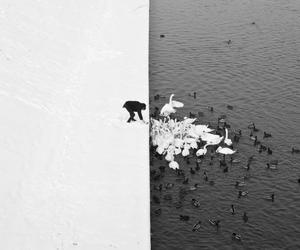 black and white, Swan, and winter image