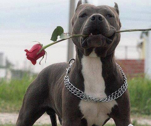 beautiful, dog, and pitbull image