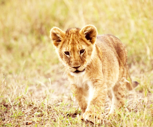 africa, baby, and baby lion image