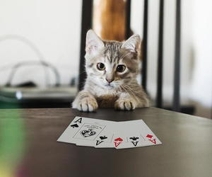 cat and poker image