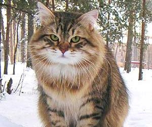 snow, cat, and siberian image