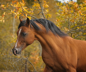 arabian, equine, and horse image