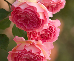 lovely, roses, and pink image