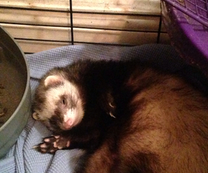 baby, ferret, and sleepy image