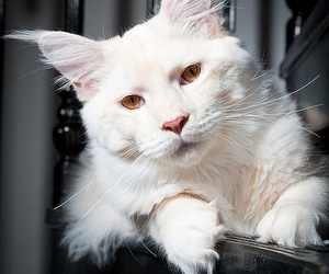 cat, white, and maine coon image