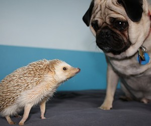 pug, animal, and hedgehog image