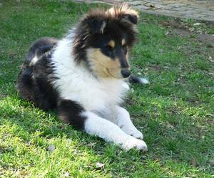 collie, dog, and puppy image