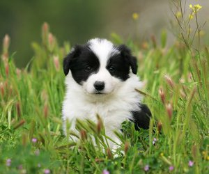 border collie, cute, and puppy image