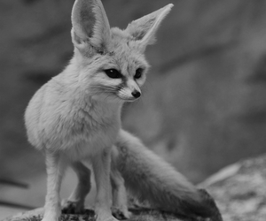 animal, fox, and nature image
