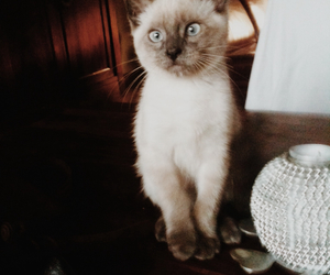 blueeyes, cat, and cute image