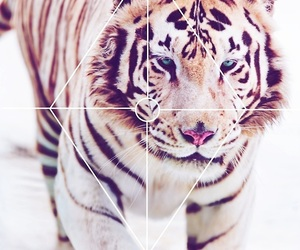tiger, roar, and animal image