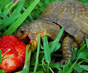 turtle, strawberry, and animal image