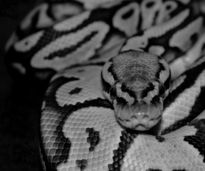 black and white and snake image