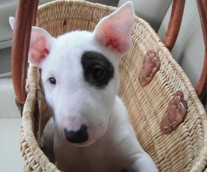 bull terrier, puppy, and dog image
