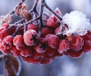 winter, snow, and berries image