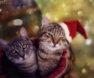 cats, christmas, and colour image