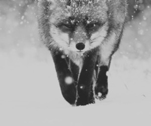black and white, fluffy, and fox image