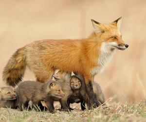 fox, animal, and cute animals image