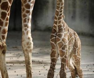 animal, cute, and giraffe image