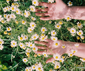 flowers, daisy, and hands image