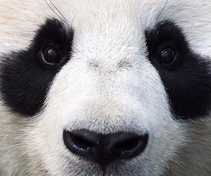 panda, white, and black image