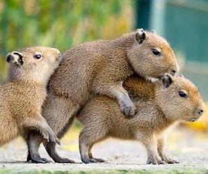 baby capybaras image