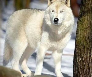 wolf, snow, and nature image