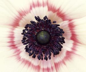 anemone, pink, and beauty image
