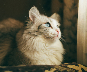 blue eyes, cat, and kitten image