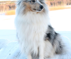 animals and dog sheltie love dogs image