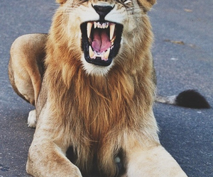 animal, roar, and lion image