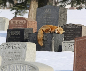 fox and cemetery image