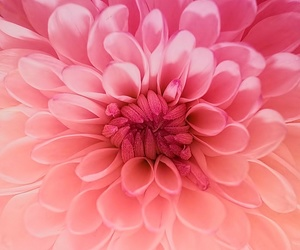 flowers, pink, and dahlia image