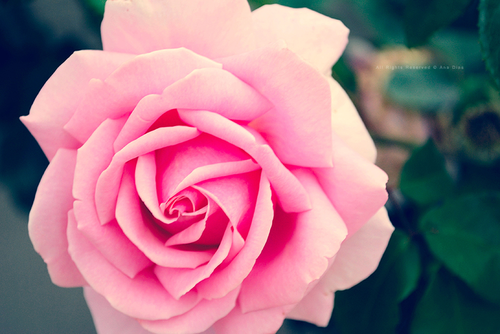 Soft_rose_by_eternal_love01_large