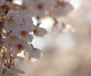 cherry blossom, d40, and flower image