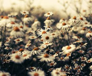 flowers, photography, and daisy image