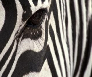 animals, stripes, and zebra image