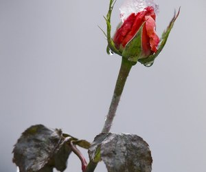 ice, rose, and winter image