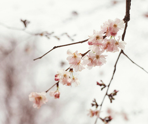 blossom, nature, and cherry image