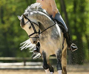 dressage, horse, and trot image
