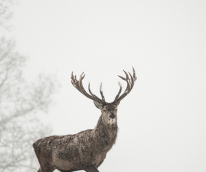 animal, deer, and stag image