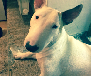 adore, bull terrier, and happy image