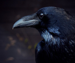 raven and bird image