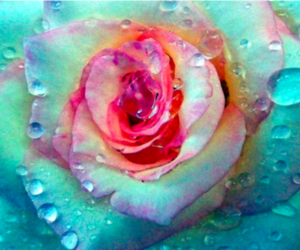 flower, pretty, and rose image