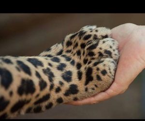 leopard, ♥, and paw image