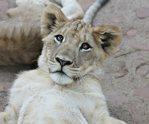 baby, lion, and want image