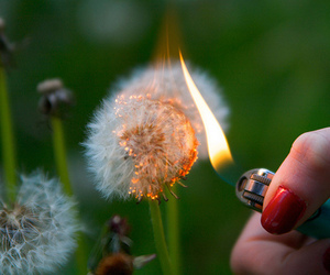 dandelion and fire image