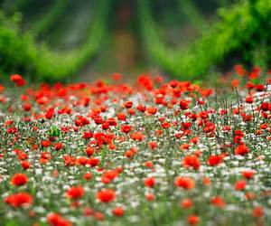 red, field, and flowers image