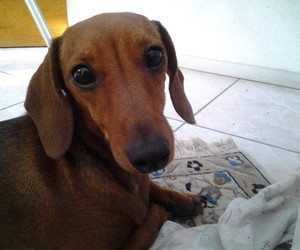 dachshunds, dogs, and pets image