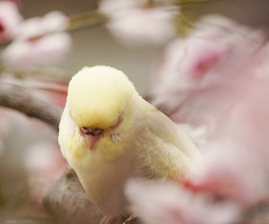 bird, budgie, and pink image
